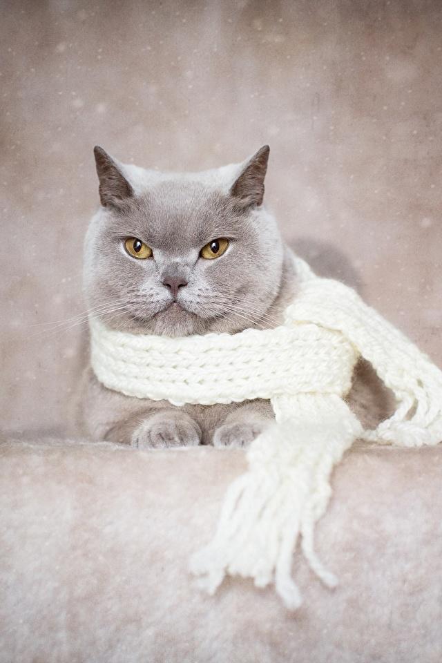 Фото Британская короткошёрстная Кошки шарфе серая Животные 640x960 для мобильного телефона кот коты кошка Шарф шарфом Серый серые животное