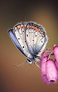 Картинка Бабочка Вблизи Silver-studded blue Животные