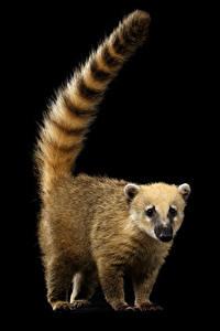 Обои Еноты Черный фон Хвост South American coati Животные