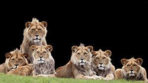 Фотография Большие кошки Львы Черный фон Взгляд Животные
