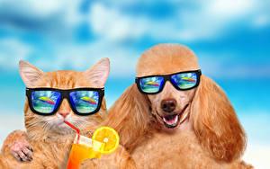 Фотографии Кошки Собаки Сок Два Пудель Очки Забавные Животные