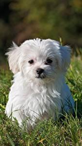 Обои Мальтийская болонка Собаки Трава Щенок Белый Смотрит