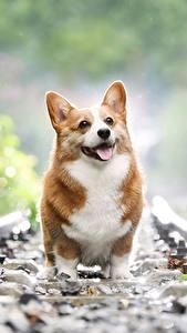 Фотография Железные дороги Вельш-корги Боке животное