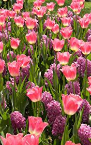 Фотографии Тюльпан Розовых цветок