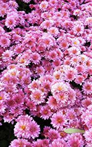 Обои Хризантемы Много Розовый Цветы