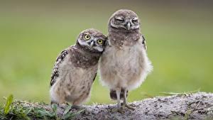 Фотографии Птицы Совы Вдвоем Милые Burrowing owl Животные