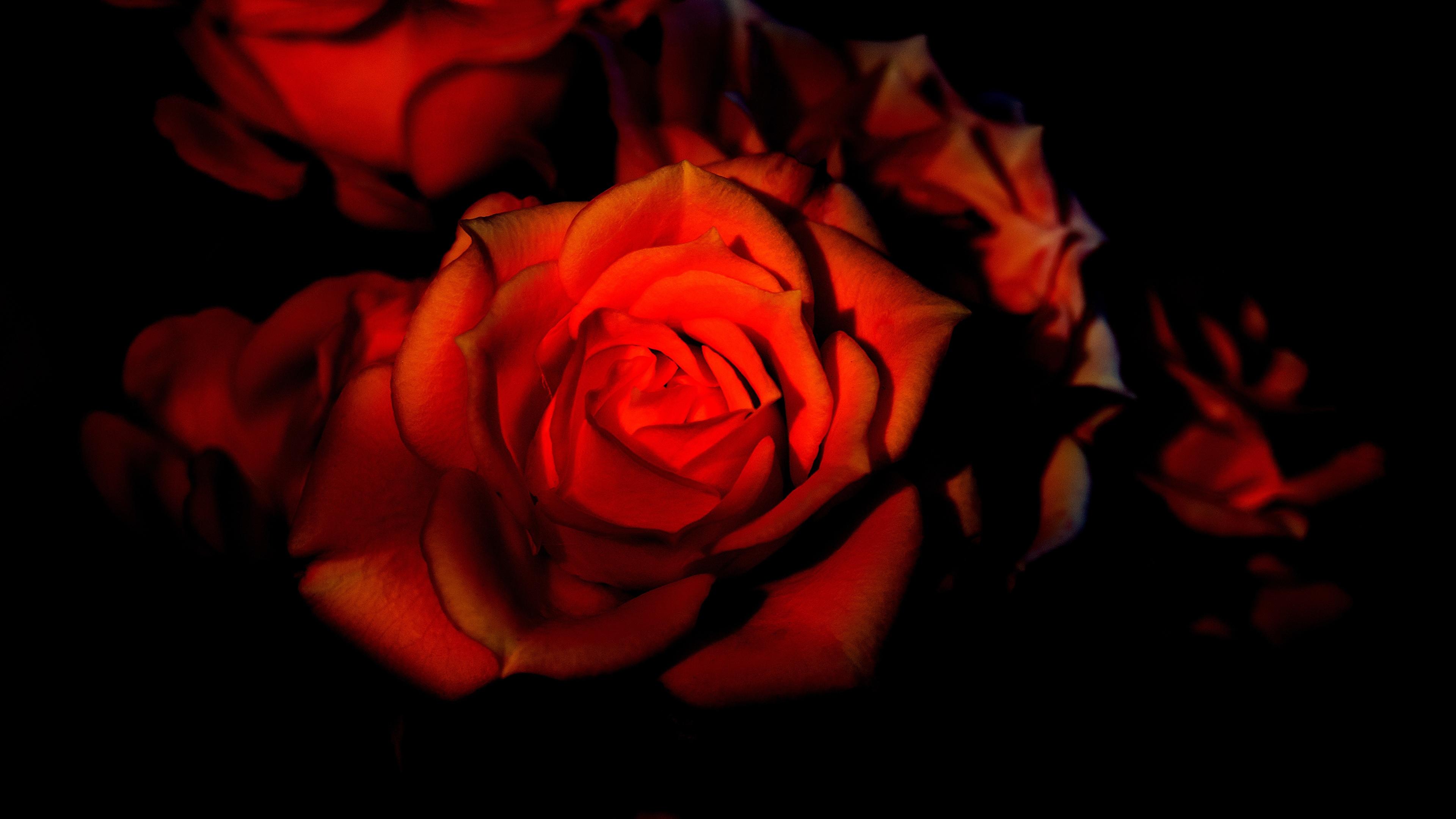 Обои цветок, красная. Цветы foto 13