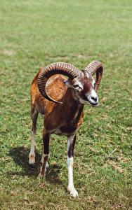 Картинки Баран Трава Рога Взгляд Mouflon Животные