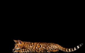 Обои Кот Бенгальская кошка Черный фон Хвост Животные Животные