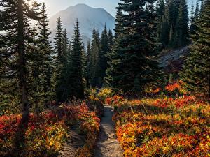 Картинки США Парки Лес Ели Тропа Mount Rainier National Park Природа