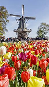 Картинка Нидерланды Парки Тюльпаны Много Мельница Keukenhof Цветы