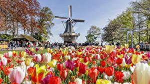 Картинка Голландия Парки Тюльпаны Много Мельница Keukenhof Природа Цветы