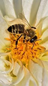 Картинка Георгины Вблизи Пчелы Насекомые Животные