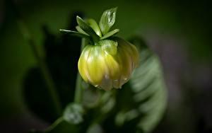 Картинка Георгины Вблизи Боке Бутон цветок