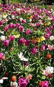 Обои Нидерланды Парки Тюльпаны Рябчик Keukenhof Цветы