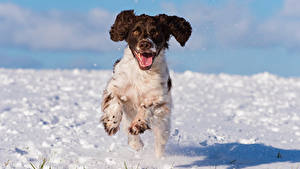 Фотографии Собаки Снег Бег Спаниель cocker spaniel Животные