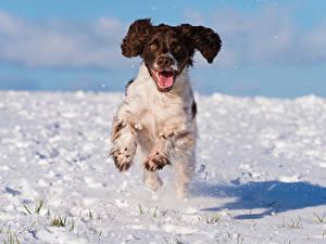 Фотографии Собаки Снег Бег Спаниель cocker spaniel