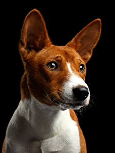 Фото Собаки Черный фон Смотрит Морда Basenji Dog Животные