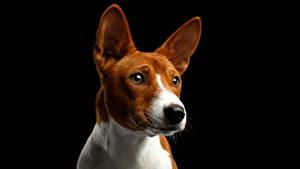 Фото Собаки На черном фоне Взгляд Морда Basenji Dog Животные