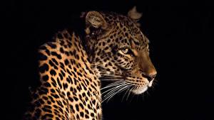 Картинка Большие кошки Леопарды Усы Вибриссы На черном фоне животное