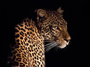 Картинка Большие кошки Леопард Усы Вибриссы Черный фон Животные