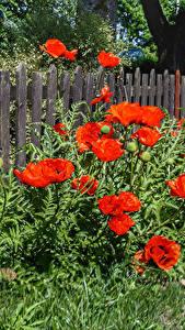 Фотографии Маки Ограда цветок