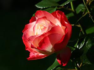 Обои Розы Вблизи Черный фон Красный Цветы
