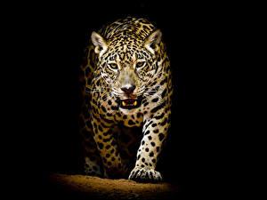 Фотографии Большие кошки Леопарды Черный фон Животные