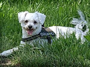 Фото Собака Траве Лежит Язык (анатомия) Bichon Frise