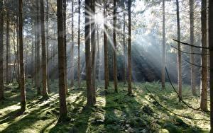 Фотография Леса Ель Мха Лучи света Природа
