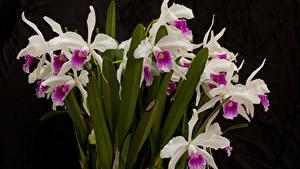 Картинка Орхидеи Вблизи Черный фон цветок