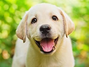 Картинка Собаки Милые Красивые Язык (анатомия) Ретривера Взгляд Головы Белая Животные