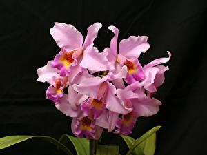 Фотографии Орхидеи Крупным планом Черный фон Розовых цветок