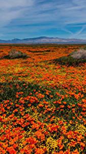 Картинка Штаты Много Мак Поля Калифорнии Оранжевые Lancaster Цветы