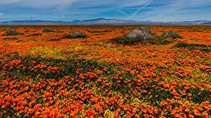Картинка Штаты Много Мак Поля Калифорнии Оранжевые Lancaster Природа Цветы