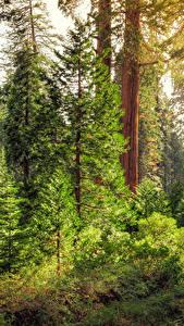 Картинка Штаты Парки Калифорния Ствол дерева Ель King's Canyon National Park Природа
