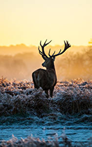 Картинка Зима Олени Трава Животные