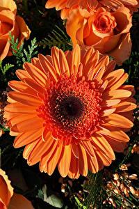 Фотография Герберы Розы Вблизи Оранжевый Цветы