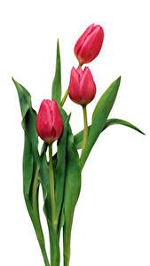 Фотография Тюльпаны Белый фон Трое 3 Красный Цветы