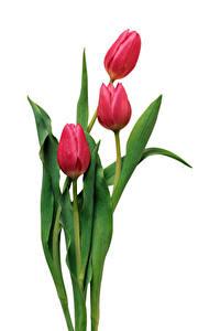 Обои для рабочего стола Тюльпаны Белом фоне Трое 3 Красных Цветы
