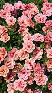 Фотография Калибрахоа Много Розовая Цветы