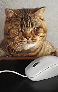 Фото Креатив Кошка Компьютерная мышь Морда Смотрит