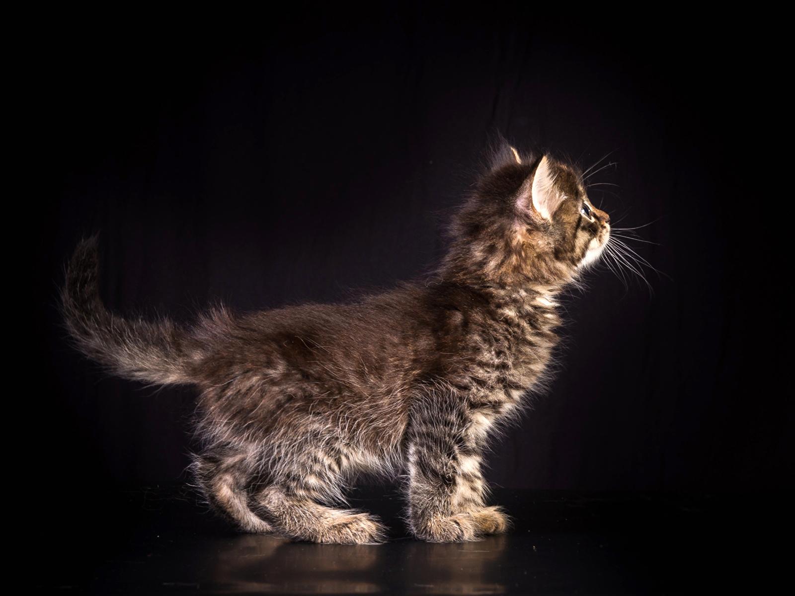 Фотография котенок Кошки животное на черном фоне 1600x1200 котят Котята котенка кот коты кошка Животные Черный фон
