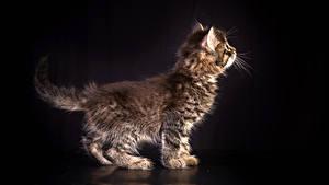 Фотография Кошки Черный фон Котята Животные