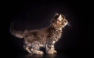 Фотография Кошки На черном фоне Котенок животное