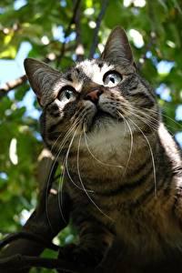 Обои для рабочего стола Коты Смотрят Усы Вибриссы Ветки Морды Животные