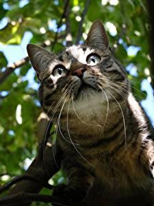 Картинки Коты Смотрят Усы Вибриссы Ветки Морды Животные