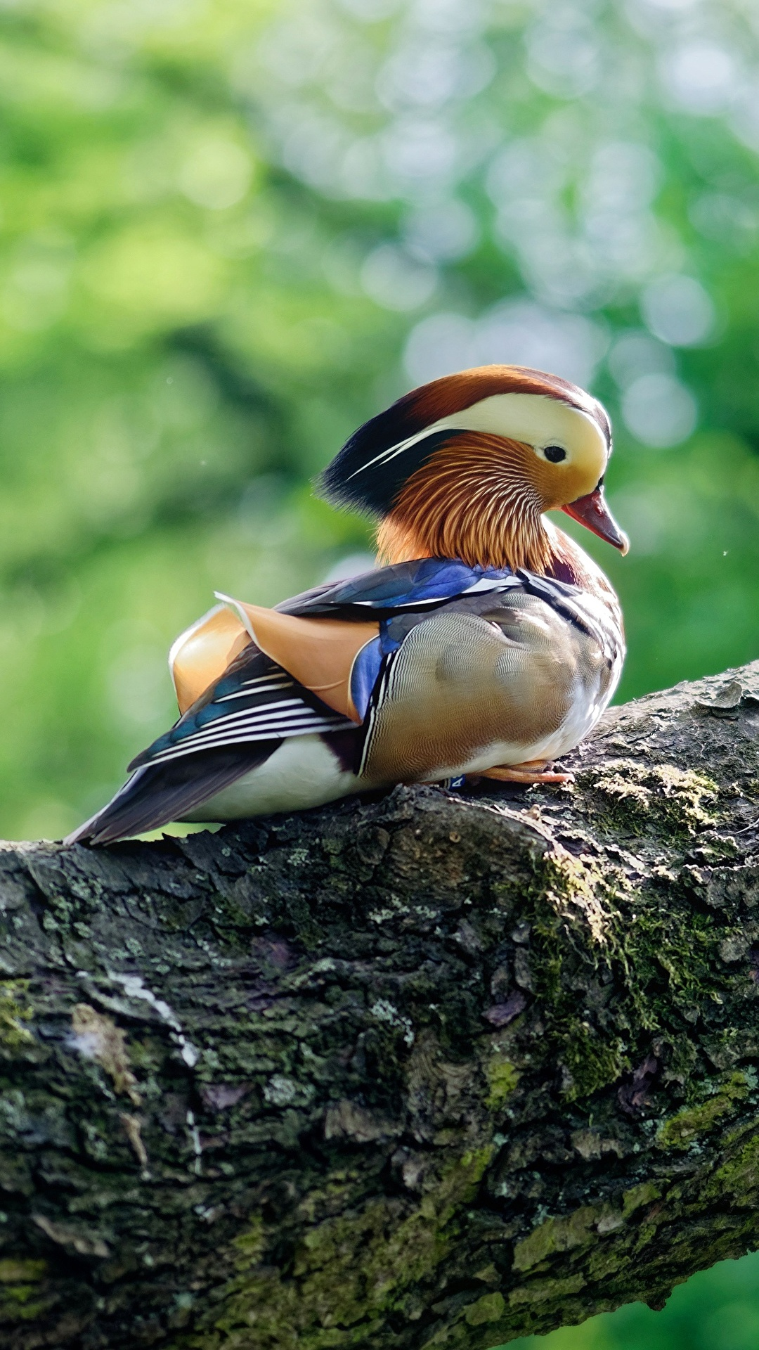 Female Wood Duck Looking to the Sky While Perched in a Tree ... | 1920x1080