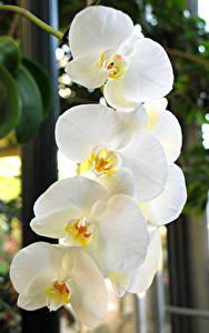 Фотография Орхидеи Крупным планом Белый Цветы