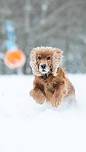 Обои Зима Собаки Размытый фон Снегу Бежит Спаниеля животное